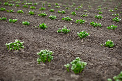 Potato sprouts in field Royalty Free Stock Photography