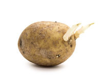 Potato with sprouts Stock Image