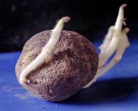 Potato sprouts shoots Stock Photo