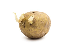 Potato with sprouts Royalty Free Stock Photo