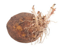 Potato sprouts Royalty Free Stock Photography