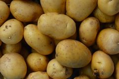 Potato. The potato is a starchy, tuberous crop from the perennial nightshade Solanum tuberosum. In many contexts, potato refers to the edible tuber, but it can royalty free stock photo