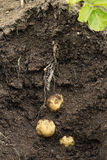Potato Swift (first early) growing in the ground. Stock Photos