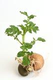 Potato tree. Stock Photos
