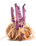 Potato tuber with lilac sprouts and roots Royalty Free Stock Image