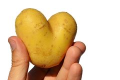 Potato tuber Solanum Tuberosum shaped like heart held in left hand of adult male man, white background. Afternoon summer natural sunlight Stock Images