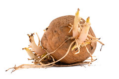 Potato tuber with sprouts and roots Stock Images