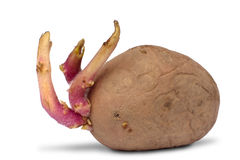 Potato tuber with sprouts on white Royalty Free Stock Photos