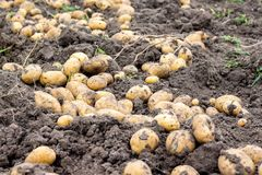 Potato tubers dry in the field on the ground. A good potato harvest_ stock photography