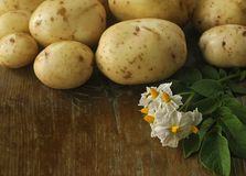 Potato tubers and potato flowers on a wooden surface. Potato tubers and potato flowers on an old wooden tabletop Royalty Free Stock Photography