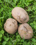 Potato tubers infected with bacterial decay. And pests Stock Images