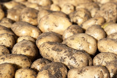 Potato tubers. Natural background -white potato tubers in sunlight Stock Images