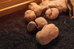 Potato tubers, organic locally grown food production. Concept, pile of harvested rhizome on the garden soil stock image