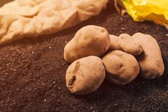 Potato tubers, organic locally grown food production. Concept, pile of harvested rhizome on the garden soil royalty free stock photo