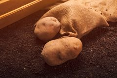 Potato tubers, organic locally grown food production. Concept, pile of harvested rhizome on the garden soil stock images