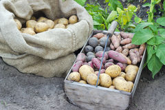 Potato varieties Royalty Free Stock Image