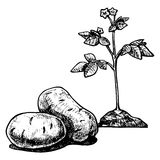 Potato. Vector  illustration of a potato stylized as engraving Stock Image
