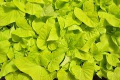 Potato vine Royalty Free Stock Images