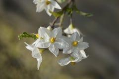 Potato vine. White flowers and buds - Latin name - Solanum laxum Solanum jasminoides royalty free stock photo