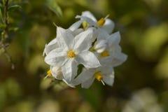 Potato vine. White flowers and buds - Latin name - Solanum laxum Solanum jasminoides stock photo
