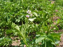 Potato violet flower with plant and leaves. Potato flower with plant and leaves Stock Images