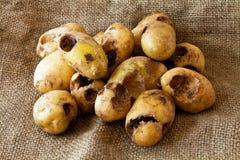 Potato worm Stock Photography