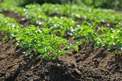 Potatoe植物 库存照片