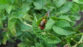 Potatoe beetles mating. On a potatoe plant Royalty Free Stock Image