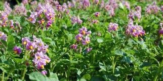 Potatoe Blüte Stockfotos