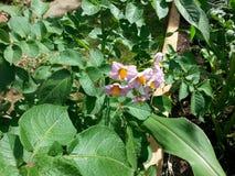 Potatoe blomning Royaltyfria Foton