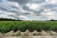 Potatoe field Stock Photography