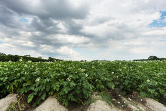 Potatoe field Stock Photography
