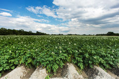 Potatoe field Royalty Free Stock Image
