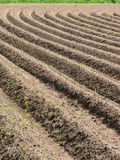 Potatoe field in spring. Potato field with plowed rows in the spring Stock Photos