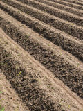 Potatoe field in spring. Potato field with plowed rows in the spring Stock Photo