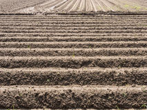 Potatoe field in spring. Potato field with plowed rows in the spring Royalty Free Stock Photo