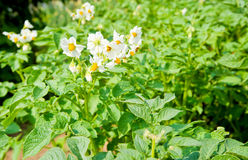 Potatoe flowers Royalty Free Stock Photography