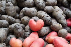 Potatoe heart. Purple and pink medley of fresh potatoes with one shaped like a heart Royalty Free Stock Images