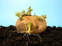 Potatoe with sprouts Royalty Free Stock Images