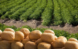 Potatoes. Stack of potatoes on field Stock Images