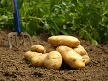Potatoes. Crop of potatoes in my garden Stock Photos