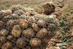 Potatoes. Bag of Potatoes royalty free stock photography
