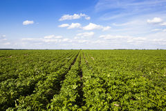 Potatoes. An agricultural field on which grow up potatoes Royalty Free Stock Photos