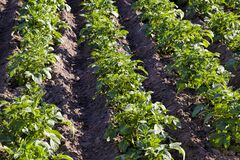 Potatoes Are Grown On An Agricultural Field Stock Photo
