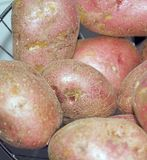 Potatoes background Stock Image