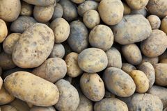 Potatoes background. Fresh potato. autumn harwest of vegetables. royalty free stock image