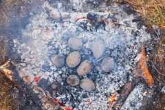 Potatoes baked in the coals on the fire in the spring forest royalty free stock photography