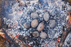 Potatoes baked in the coals on the fire in the spring forest royalty free stock photo