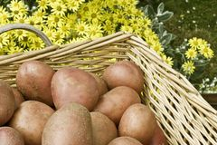 Potatoes in basket Royalty Free Stock Photography