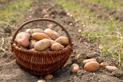 Potatoes in a basket Royalty Free Stock Photo